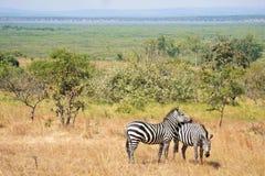 Safari zwierzęta w sawann trawach zdjęcie royalty free