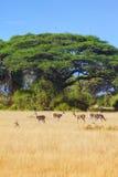 Safariamboseli fotografering för bildbyråer