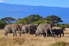 Safariamboseli arkivfoton