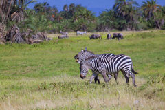 Safariamboseli Royalty-vrije Stock Afbeeldingen