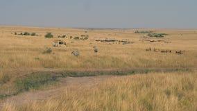 Safariauto met toeristen op de savanne waar heel wat antilopen en zebras stock video