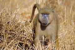Safariin Kenia Fotografie Stock