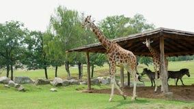SAFARIpark POMBIA, ITALIË - JULI 7, 2018: nieuwsgierige giraffen in de SAFARIdierentuin Reis in de auto Giraffen het lopen stock footage