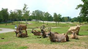 SAFARIpark POMBIA, ITALIË - JULI 7, 2018: Reis in auto in SAFARIdierentuin bruine berggeiten, antilopen, verschillende types stock footage