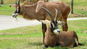 SAFARIpark POMBIA, ITALIË - JULI 7, 2018: Reis in auto in SAFARIdierentuin bruine berggeiten, antilopen, verschillende types stock video