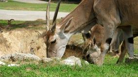 SAFARIpark POMBIA, ITALIË - JULI 7, 2018: Reis in auto in SAFARIdierentuin bruine berggeiten, antilopen, verschillende types stock videobeelden