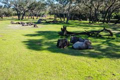 Safaris de Kilimanjaro en el reino animal en Walt Disney World Foto de archivo libre de regalías