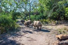 Safaris de Kilimanjaro en el reino animal en Walt Disney World Fotografía de archivo