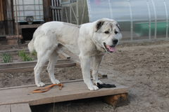 Safe guard your home, yard and garden - Central Asian Shepherd!. Your friend Central Asian Shepherd Dog is very sweet, kind, nice and fluffy. Safe guard your Stock Photos