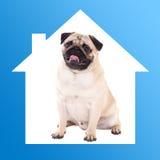 Safe home concept -pug dog sitting in blue house frame Stock Images