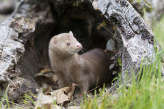 Is it safe. A mink coming out of den to pursue prey and food stock image