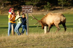 Safety. Family of four cornered behind a sign by a bull elk after walking between the herd bull and his cows royalty free stock photos