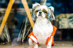 Safety dog. A dog with a life vest behind the window royalty free stock photo