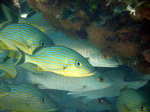 Safety in numbers. A shoal of grunts and snappers group together for protection and safety.  Taken early morning on a shallow sunny dive in the Caribbean Royalty Free Stock Photography