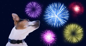 Safety of pets during fireworks concept. Dog muzzle jack russell terrier against the sky with colored fireworks. Safety of pets during fireworks concept Royalty Free Stock Photos