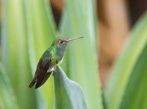 Saffieramazilia, Sapphire-Spangled Emerald, Amazilia lactea stock photo