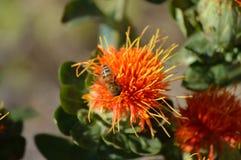 Safflower άνθος με τη μακροεντολή κινηματογραφήσεων σε πρώτο πλάνο μελισσών Στοκ Εικόνες