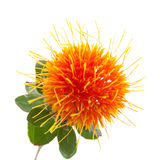 safflower Royaltyfri Bild