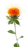Safflower. Isolated on white background Royalty Free Stock Photography