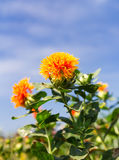 Safflower Royaltyfria Foton