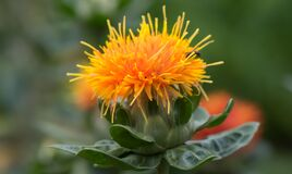 Safflower, Carthamus tinctorius, bright orange flower