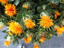 Safflower, Carthamus tinctorius Royalty Free Stock Photo