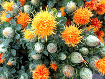 Safflower, Carthamus tinctorius Stock Photos
