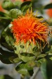 Funny face on a safflower blossom. Safflower Carthamus tinctorius seeds pressed for safflower oil, and once was used to make red-orange dyes, and food flavorings Royalty Free Stock Image