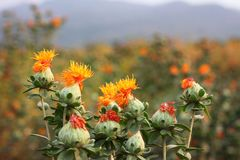 Safflower in the farm Royalty Free Stock Photo