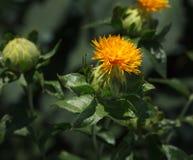 Safflower garden closeup Stock Images