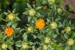 Safflower garden closeup Royalty Free Stock Images