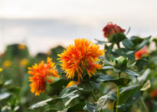Safflower Stock Photo