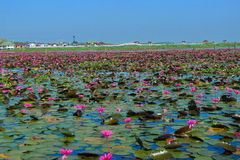 Safflower greenery. See if large lotus lake, the picture is only one percent Royalty Free Stock Photo