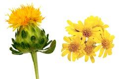 Safflower och guld- ullbeklädnad Fotografering för Bildbyråer
