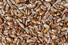Safflower Seeds (Carthamus tinctorius) stock image