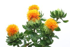 Safflower in a white background Stock Photo