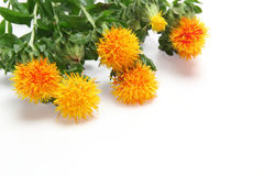 Safflower in a white background Royalty Free Stock Photo