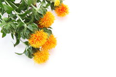 Safflower in a white background Stock Images