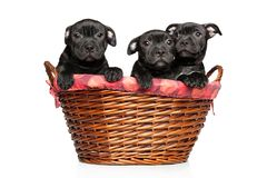 Saffordshire terrier puppies in basket stock photography