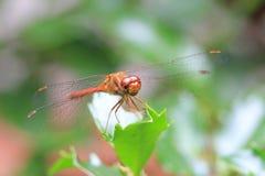 Saffraan-gevleugelde Meadowhawk Royalty-vrije Stock Foto