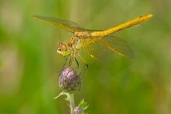 Saffraan-gevleugelde Meadowhawk-Libel Stock Foto