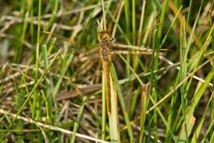 Saffraan-gevleugelde Meadowhawk-Libel Royalty-vrije Stock Afbeeldingen