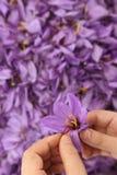 Saffraanbloemen royalty-vrije stock afbeelding