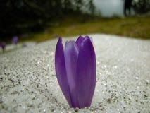 saffran Royaltyfria Foton