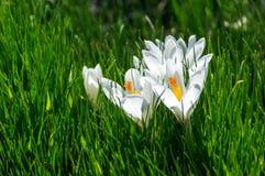 Saffran (krokus) - en dekorativ växt Arkivbild