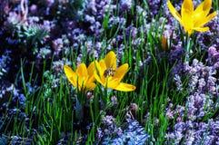 Saffran (krokus) tilldrar bin till hopsamlingnektar och pollen Arkivfoto