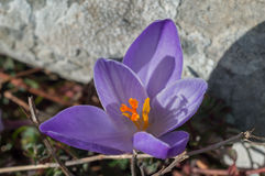 Saffran. Wild saffran on the hill in Dalmatia. Early spring Royalty Free Stock Image