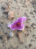 Saffranblomma Royaltyfria Bilder