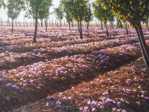 Saffranfält royaltyfri foto