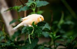 Saffranfink på den Bloedel drivhuset arkivfoto